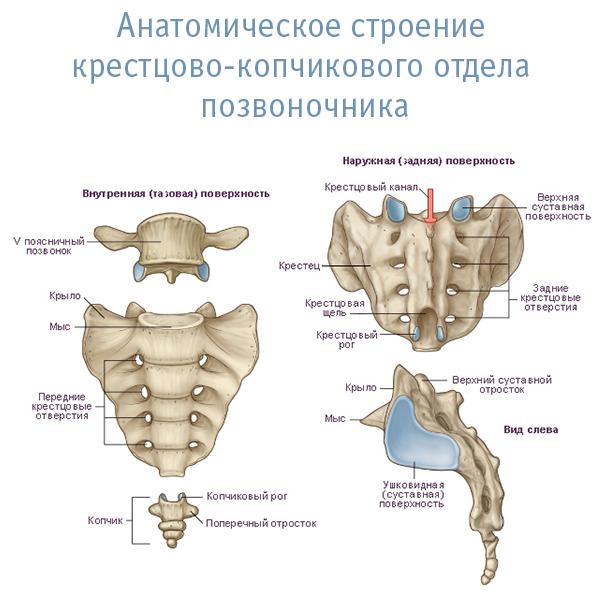 Строение крестцово-копчикового отдела позвоночника