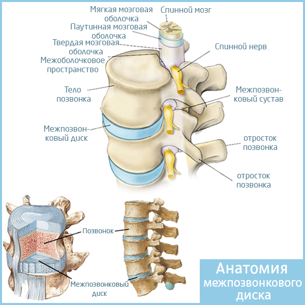 Анатомия межпозвонкового диска